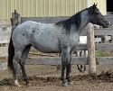 FQHR Powder Blue - Blue Roan