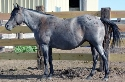 Kros Shady Lady - Blue Roan