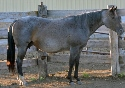 Dustys Mestique - Blue Roan