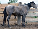 FQHR Poco Little Gal - Blue Roan