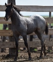 2019 Lot 01 FQHR Powder Blue - Blue Roan