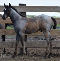 2019 Lot 03 Miss Karas Poco - Blue Roan