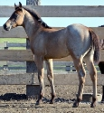 2019 Lot 09 FQHR Blue Rose - Bay Roan