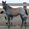 2019 Lot 14 FQHR McBeauty - Blue Roan