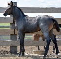 2019 Lot 16 Ellens Passion - Blue Roan