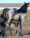 2019 Lot 17 FQHR Stylelist - Blue Roan