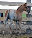 2019 Lot 25 FQHR Blue Pearl - Red Roan