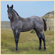 Blue Roan Foals For Sale